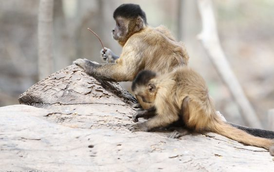 """Grupo de pesquisa da EACH tem artigo publicado no """"American Journal of Primatology"""""""